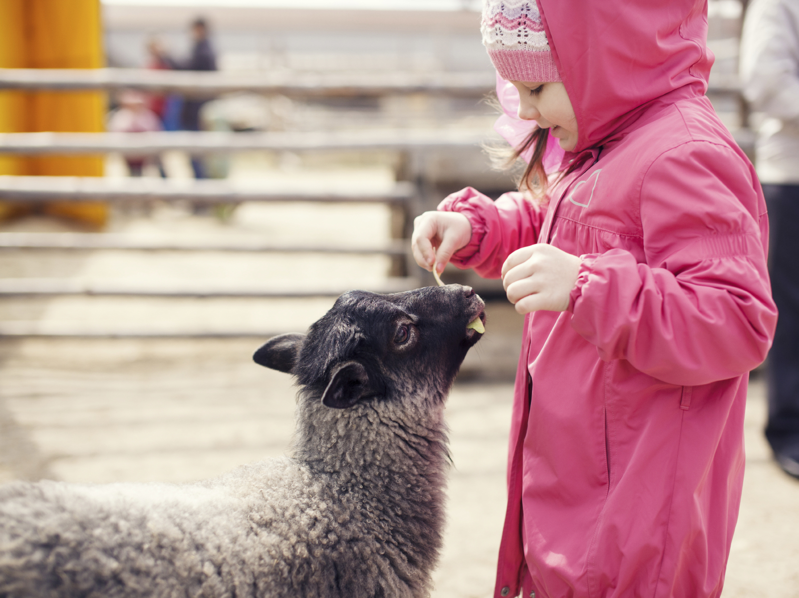 A camper helps feed one of the lambs at Wolfe's Neck Farm in Freeport.