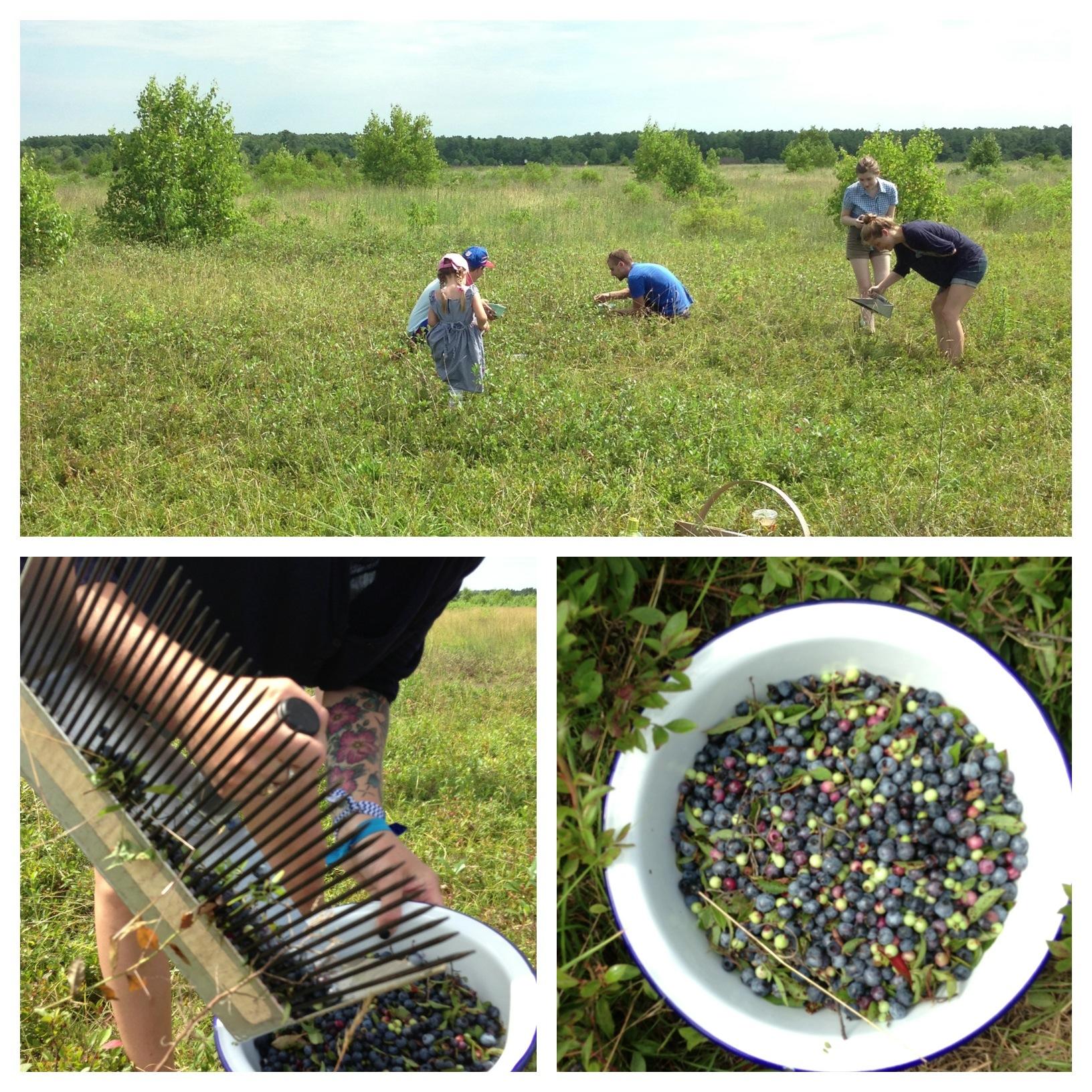 blueberry-plains